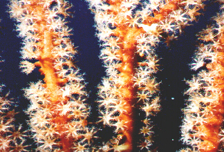 CayeCaulkerSoftcoral