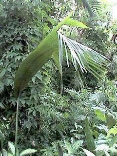 Coco-de-mer tree